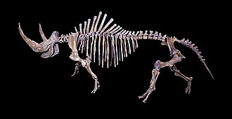 Woolly rhinoceros - Woolly rhinoceros skeleton on display