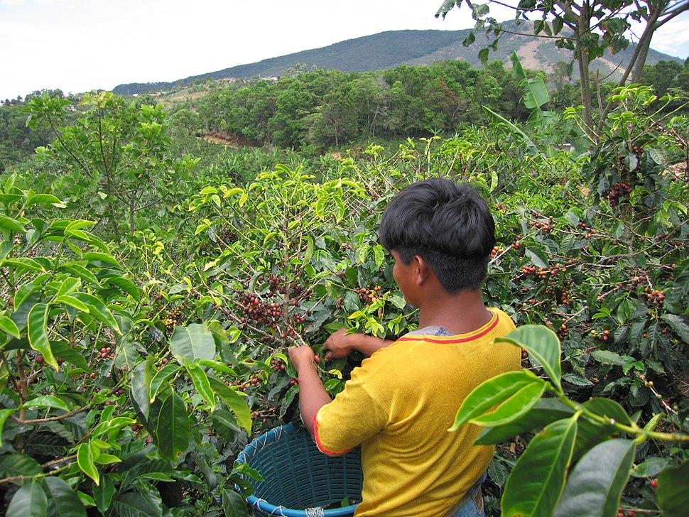 Coffee-cherry-picker-san-marcos-tarrazu-costa-rica