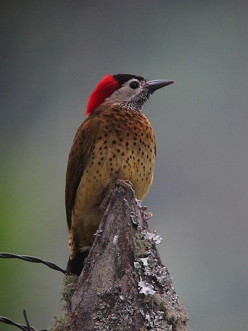500px colaptes punctigula carpintero pechipunteado spot breasted woodpecker (female) (12978805715)