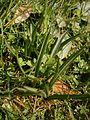 Colchicum bulbocodium leaves4.jpg