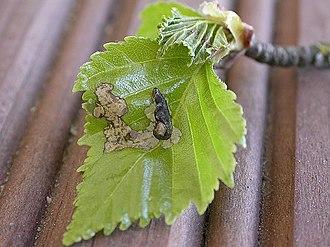 Coleophora betulella - Image: Coleophora betulella