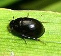 Coleoptera Hydrophilidae sp (3183457999).jpg