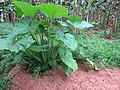 Colocasia - ചേമ്പ് 002.jpg