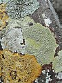 Colorful lichens - Flickr - pellaea.jpg