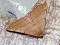 Colotois pennaria ♂ - Feathered thorn (male) - Пяденица хохлатая (самец) (27051402738).jpg