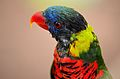 Colourful Love bird.jpg