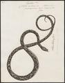 Coluber aulicus - 1734-1765 - Print - Iconographia Zoologica - Special Collections University of Amsterdam - UBA01 IZ11900125.tif