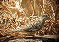 Columbina squammata Tortolita escamada Scaled Dove (8496078588).jpg