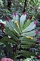 Columnea ericae (Gesneriaceae) (29575654192).jpg
