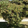 Comarostaphylis arbutoides Irazu 2.jpg