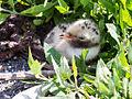 CommonTern-Chick.jpg