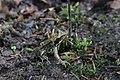 Common Frog - Rana temporaria (35805292661).jpg