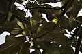 Common Iora (Aegithina tiphia) @ KL 3.jpg