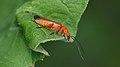 Common Red Soldier Beetle (Rhagonycha fulva) - Guelph, Ontario.jpg