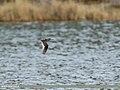 Common Redshank (Tringa totanus) (35165960615).jpg