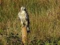 Common buzzard (48761049263).jpg