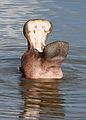 Common hippopotamus, Hippopotamus amphibius, at Letaba, Kruger National Park, South Africa (20226631785).jpg