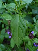 Common self-heal (Prunella vulgaris) -- leaf.JPG