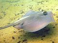 Common stingaree sydney.jpg