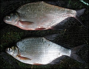 Blicca bjoerkna - Top, immature bronze bream Bottom, mature silver bream