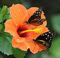 ComputerHotline - Lepidoptera sp. (by) (18).jpg