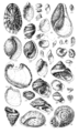 Conchological Manual Plate 13.png