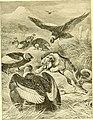 Condors mobbing a puma.jpg