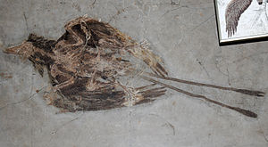 Confuciusornis - C. sanctus fossil preserving long wing and tail feathers.