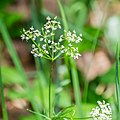 Conopodium majus in Aveyron (1).jpg