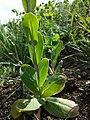 Conringia orientalis sl42.jpg