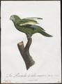 Conurus versicolurus - 1796-1808 - Print - Iconographia Zoologica - Special Collections University of Amsterdam - UBA01 IZ18500193.tif