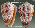 Conus arenatus 3.jpg