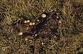 Coprophilous Agaries. Kenfig cow pat. November 1972 (25385598629).jpg