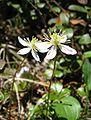Coptis trifolia 01.jpg