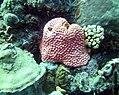 Coral Bright Pink Coral (7342805842).jpg