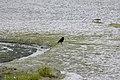 Corneille noire-.jpg