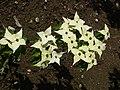 Cornus kousa Milky way croppedB.jpg