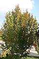 Cornus mas Golden Glory 2zz.jpg