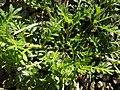 Coronopus didymum plant (09).jpg