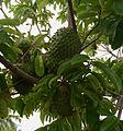 Corossol arbre.jpg