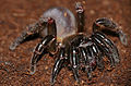 Corsican Trapdoor Spider (Cteniza sauvagesi) (17208602555).jpg