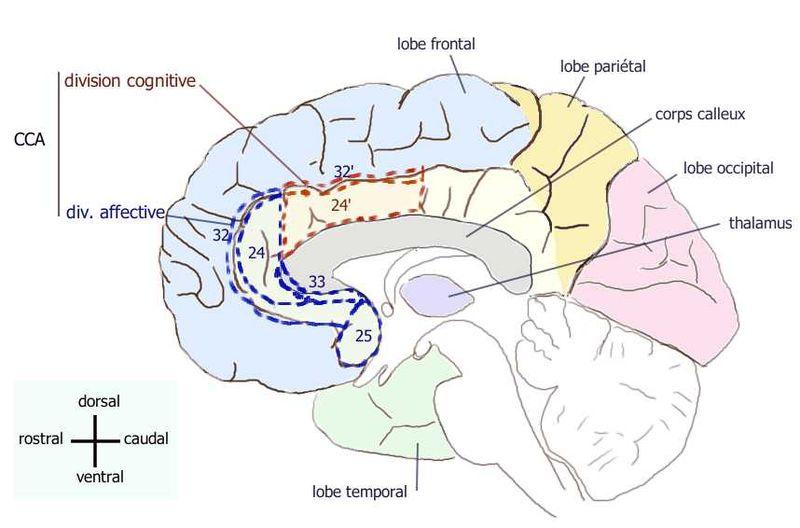 ILLUSTRATION : Partie ventrale du cortex cingulaire antérieur (Source : Wikimedia Commons)