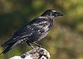 Corvus brachyrhynchos -Seattle, Washington, USA-8 (1).jpg