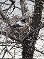 Corvus cornix on nest1.JPG
