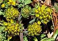 Corydalis Flowers I P1020374.jpg