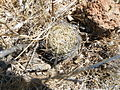 Coryphantha cornifera (5760799371).jpg
