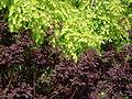 Cotinus coggygria (2944463588).jpg