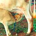 Cow drink milk.jpg
