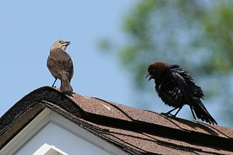 Brown-headed cowbird - Brown-headed cowbird male (right) courting female