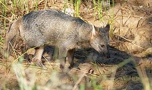 Urocyon cinereoargenteus, Panama English: Gray fox